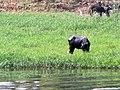 Water Buffalo along the Nile River - Egypt - Egypt Nile River Cruise - Luxor, Edfu, Kom Ombo, Aswan (4058036263).jpg