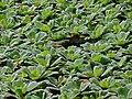 Water Lettuces (Pistia stratiotes) (6766645601).jpg