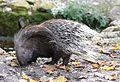 Weissschwanzstachelschwein Hystrix indica Tierpark Hellabrunn-10.jpg