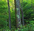 West Branch Research and Demonstration Forest (43) (27790803160).jpg