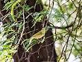 Western Crowned Warbler (29775866054).jpg