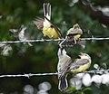 Western Kingbird (fledges and parents) (28730761407).jpg