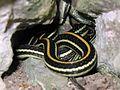Western Ribbon Snake, Thamnophis proximus - Flickr - GregTheBusker.jpg