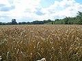 Wheat field - geograph.org.uk - 915898.jpg