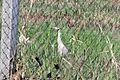 Whistling Heron - Flickr - GregTheBusker (1).jpg