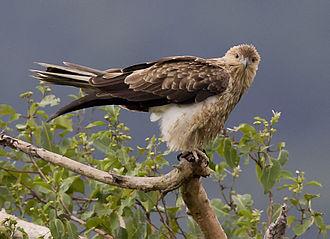 Whistling kite - at Wyvuri, Australia