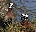 White-faced Whistling Duck 2 (5375533475).jpg