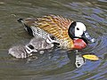White-faced Whistling Duck with chicks RWD.jpg