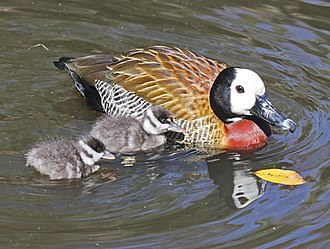 White-faced whistling duck - Image: White faced Whistling Duck with chicks RWD