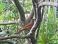 White-lined Tanager - female.jpg