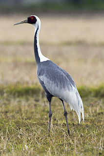 White-naped crane species of bird