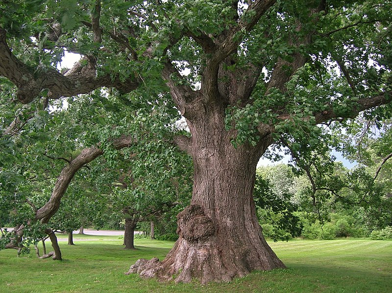 Oak is a great firewood due to its hardness and density