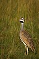 White bellied bustard calling.jpg