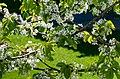 White cherry blossoms on day seven.jpg