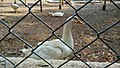 White ducks at kurumbapatti Zoo.jpg