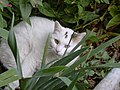 White odd-eyed cat 20080820 0778.JPG
