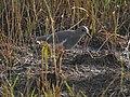 White tailed lapwing .jpg