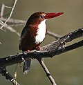 White throated Kingfisher at Bharatpur I IMG 8545.jpg
