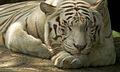 White tiger III (13945305222).jpg
