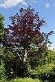 Wien-Penzing - Naturdenkmal 5201 - Blutbuche (Fagus sylvatica Atropunicea).jpg