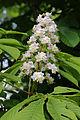 Wien-Penzing - Naturdenkmal 529 - Rosskastanienallee - Blüte I.jpg