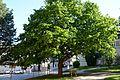 Wiener Naturdenkmal 800 - Baumhasel (Hietzing) h.JPG