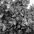 Wijnstokken van Châteauneuf-du-Pape, Bestanddeelnr 254-0255.jpg