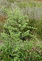 Wild Asparagus (Asparagus rubicundus) (32041347293).jpg