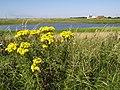 Wild Ragwort Flowers near Kilnsea - geograph.org.uk - 516234.jpg