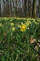 Wild daffodils in Hallwood - geograph.org.uk - 1210582.jpg