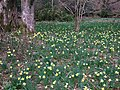 Wild daffodils near the Teign - geograph.org.uk - 363815.jpg