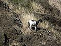 Wild goat.jpg