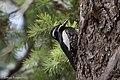 Williamson's Sapsucker (male) Forest Rd 42 Loop Chiricahuas Portal AZ-73 (35066878313).jpg