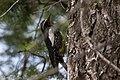 Williamson's Sapsucker (male) Forest Rd 42 Loop Chiricahuas Portal AZ-76 (35066882083).jpg