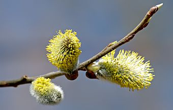 Willow catkin 2 aka.jpg