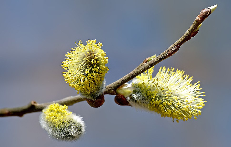Willow catkin 2 aka