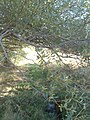 Willow tree and fountain-head - panoramio.jpg