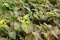 Wojslawice arboretum (Epimedium versicolor Sulphureum).JPG