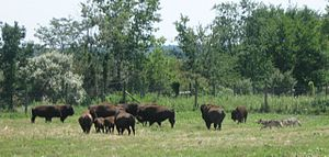 Battle Ground, Indiana - Wolf-Bison Demonstration at the institute of Wolf Park, Battle Ground.