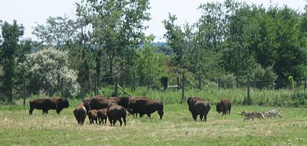 Wolf-Bison Demonstration at Wolf Park, Indiana. WolfBisonDemonstration.jpg