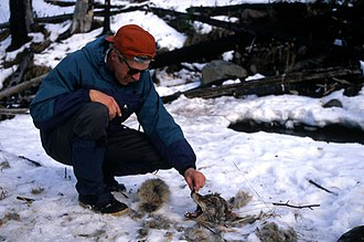 Intraguild predation - Rolf Peterson investigating the carcass of a coyote killed by a wolf in Yellowstone National Park, January 1996