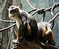 Wolfs Mona Monkey Cercopithecus wolfi Bronx Zoo 2 cropped.jpg