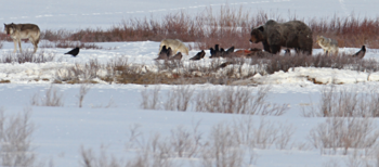 Photograph of wolves, a bear, and ravens competing over a kill in Yellowstone National Park in the winter