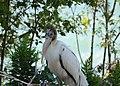 Wood Stork (36363914912).jpg