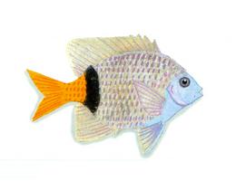 XRF-Plectroglyphidodon dickii