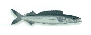 <i>Promethichthys prometheus</i> species of fish