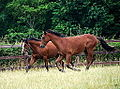 Yearling colts (9473572553).jpg
