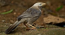 Yellow-billed Babbler (Turdoides affinis) by Dharani Prakash.jpg