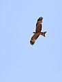 Yellow-billed kite, Milvus aegyptius, at Elephant Sands Lodge, Botswana (32099520492).jpg