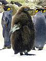 Young Penguin Loro Parque Tenerife October 2014.jpg